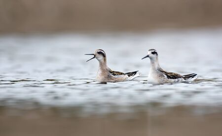 Two young Red-necked phalaropes swim together and cry loudly in cloudy weather