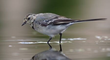 White Wagtail walks on muddy and slobby water near a river shore