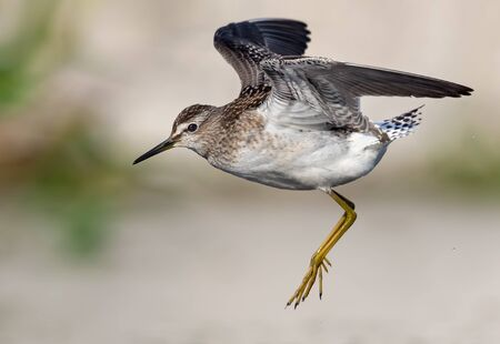 Close distance shot of Wood Sandpiper flying with lifted wings and lowered legs