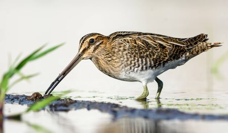 Common snipe probes water and ground near a shore with his beak in search of food in summer