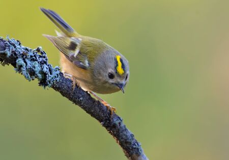 Active Goldcrest (regulus regulus) sitting and posing on lichen branch near a water pond in forest