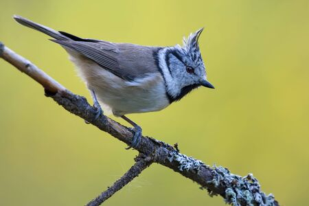 European Crested Tit (lophophanes cristatus) side view posing on an little lichen covered branch in the forest 免版税图像