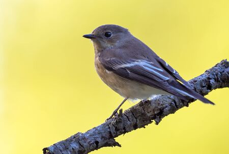 European pied flycatcher (ficedula hypoleuca) sits on small branch with clean yellow background 免版税图像