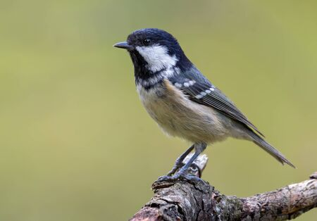 Standing out Coal Tit (periparus ater) perched on old dry branch with clean background