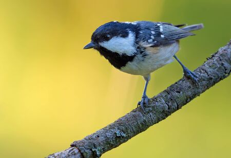 Shining Coal Tit (periparus ater) perched on simple little twig in colorful forest 免版税图像