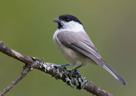 Full Back view of Willow Tit (poecile montanus) sitting on a lichen covered branch for posing 免版税图像