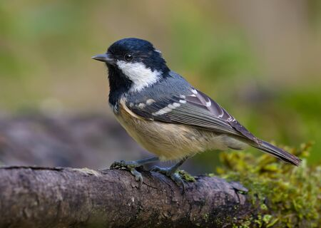 Coal Tit (periparus ater) sits on fallen old mossy branch near a water pond in the forest