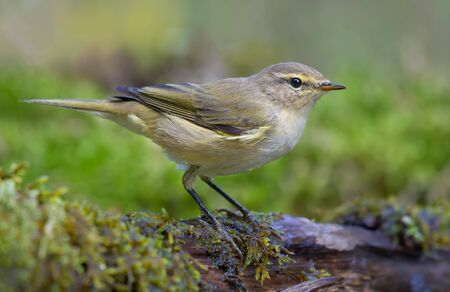 Common chiffchaff (phylloscopus collybita) looking curiously sitting on branch in wet mossy place near water pond