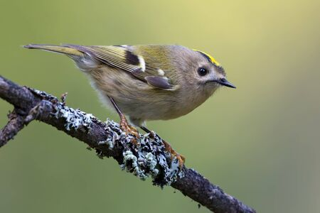 Lovely Goldcrest (regulus regulus) perched on densily lichen covered branch in summer woods