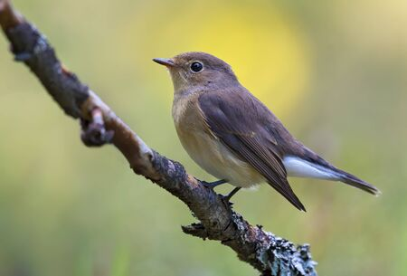Young female Red-breasted flycatcher (ficedula parva) full body graceful posing on small branch with clean background