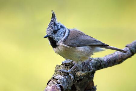 European Crested Tit (lophophanes cristatus) side view posing on an old lichen covered stick in the forest 免版税图像
