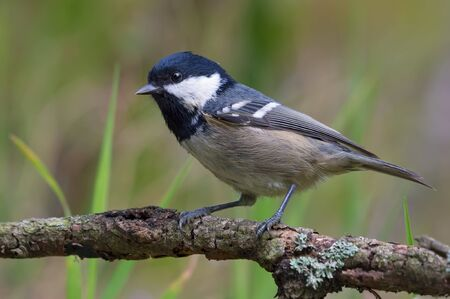 Shining Coal Tit (periparus ater) posing on densely lichen covered branch