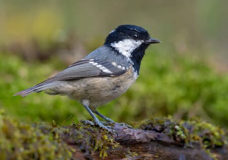 Coal Tit (periparus ater) posing near a mossy water pond in green forest 免版税图像