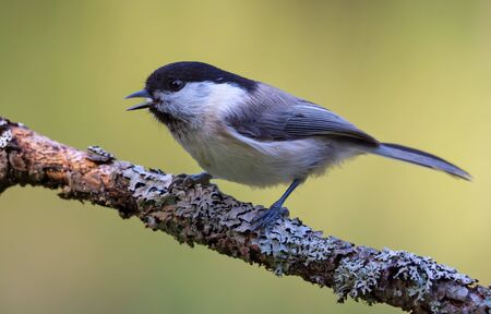 Singing Wiilow Tit (poecile montanus) with wide open beak perched on thickly lichen covered twig in the forest