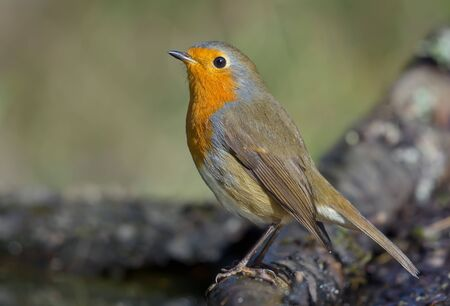 Adult European robin (erithacus rubecula) posing on a dry stick with sweet light