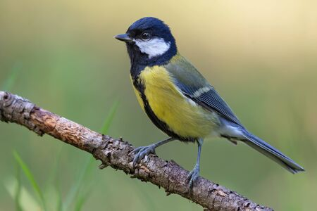 Great tit (parus major) posing perched on small branch for a portrait shot