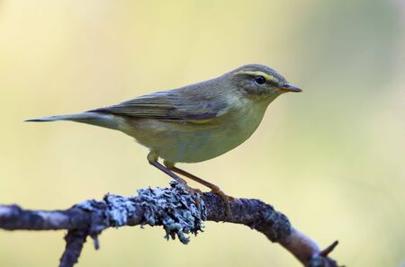 Willow warbler (phylloscopus trochilus) perched on dense covered lichen branch in yellow background colors