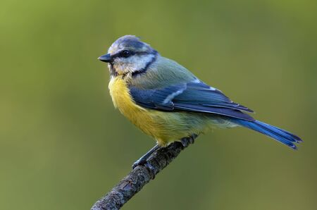 Eurasian blue tit (cyanistes caeruleus) perched posing on little wooden stick at spring
