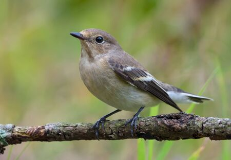 Female European pied flycatcher (ficedula hypoleuca) sits on small twig with clean green grassy background 免版税图像