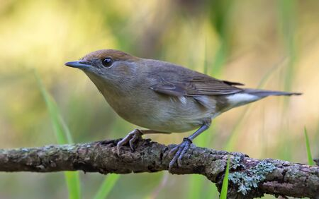 Female Eurasian blackcap (sylvia atricapilla) perched on old branch in active pose