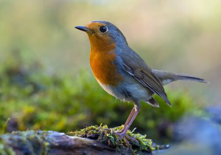 Mature European Robin (erithacus rubecula) fine posing on a moss covered old tree trunk in mossy environment