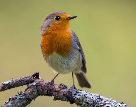 Adult European robin (erithacus rubecula) posing on a lichen perch with green background in evening light