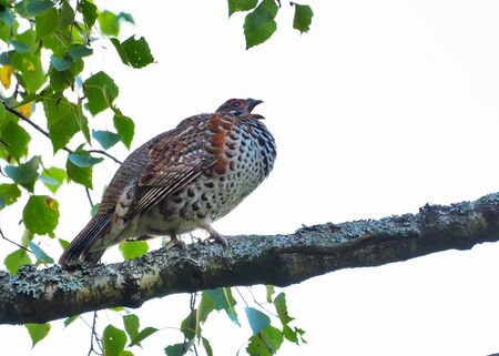 Male hazel grouse (Tetrastes bonasia) sings his song on the birch branch in light forest