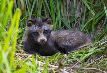 Young Raccoon dog (Nyctereutes procyonoides) or mangut lays with lifted head in the grass couch in thick bush