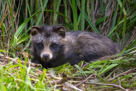 Raccoon dog (Nyctereutes procyonoides) or mangut laying on the grass bed in thick reeds