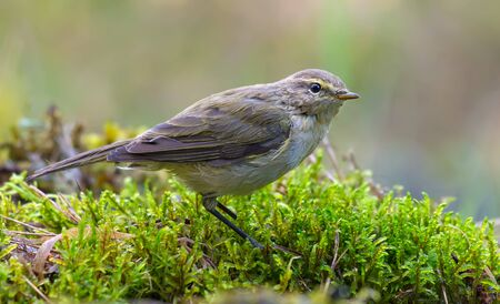 Common chiffchaff (phylloscopus collybita) sits looking curiously on mossy pillow in wet forest place near water pond