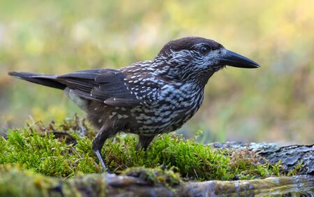 Eurasian Spotted Nutcracker (Nucifraga caryocatactes) sits on moss near a forest water pond