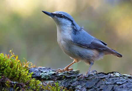 Adult Eurasian nuthatch (sitta europaea) stands straight on an old tree mossy bark in dark forest near a water pond