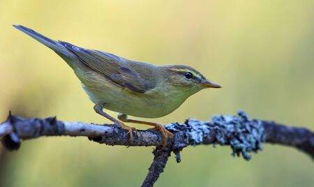 Willow warbler (Phylloscopus trochilus) posing on tiny lichen branch in light forest 免版税图像 - 148049187