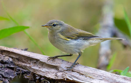 Common chiffchaff (Phylloscopus collybita) looking curiously on dry tree stump in spring time 写真素材