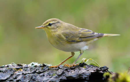 Gloomy Wood Warbler (Phylloscopus sibilatrix) simple posing in sping forest with green background