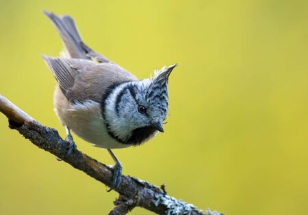 Dynamic European Crested Tit (lophophanes cristatus) front view posing on an little lichen covered branch with clean background 免版税图像