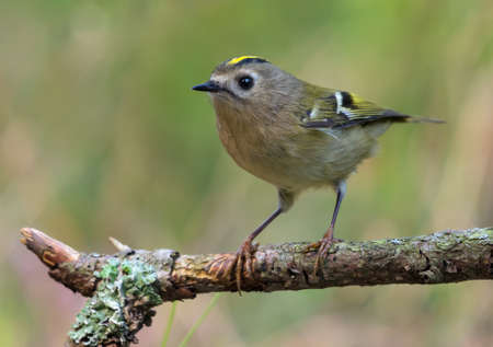 Skinny Goldcrest (regulus regulus) sitting and posing on lichen branch near a water pond in green forest