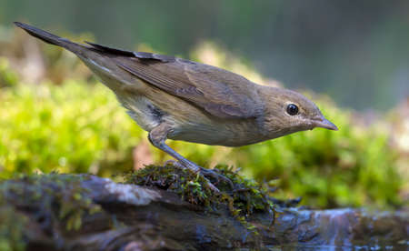 Alerted Garden warbler (sylvia borin) posing on mossy branch near the forest ground Stok Fotoğraf