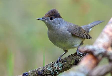 Male Eurasian Blackcap (sylvia atricapilla) perched on little stick with clean green background