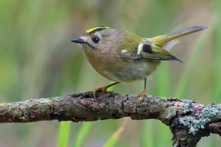 Lovely Goldcrest (regulus regulus) perched on lichen branch near a waterpond in green wood 写真素材