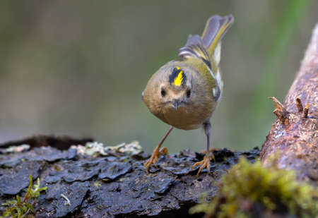 Cute Goldcrest (regulus regulus) posing with bright crown on lichen branch near a waterpond in forest