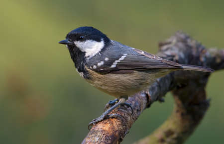 Shining Coal Tit (periparus ater) side posing on lichen covered branch with clean background