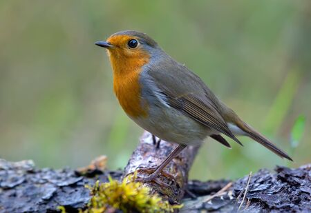 European Robin (erithacus rubecula) posing on a moss covered aged tree branch in dusk forest 免版税图像 - 149416326