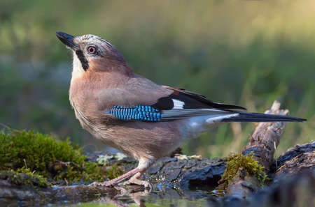Graceful Eurasian Jay (garrulus glandarius) turns her back on a lichen and mossy trunk in the forest near water pond 写真素材