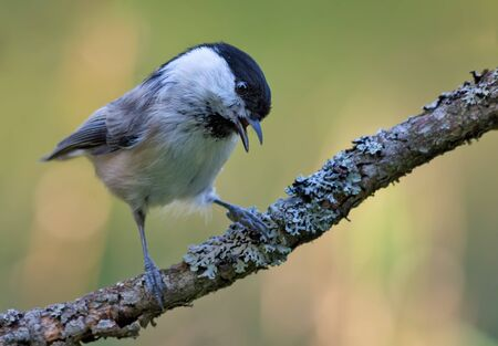 Calling Wiilow Tit (poecile montanus) with wide open beak perched on densely lichen covered branch in the forest 免版税图像