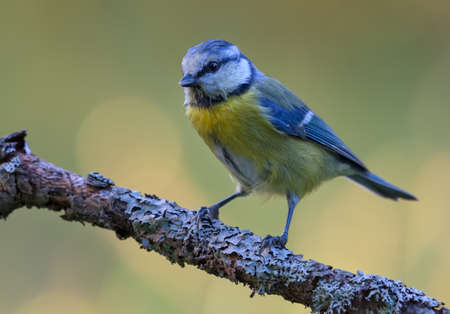 Typical Eurasian blue tit (cyanistes caeruleus) perched on lichen covered branch with clean background