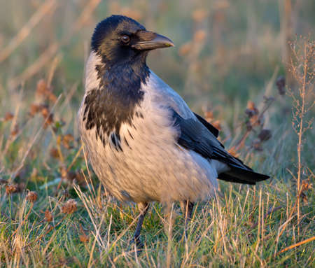 Adult Hooded crow (corvus cornix) stands in grass on the ground in evening sunset light 免版税图像