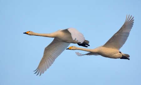 Pair of adult Whooper swans (cygnus cygnus) in close flight over blue sky