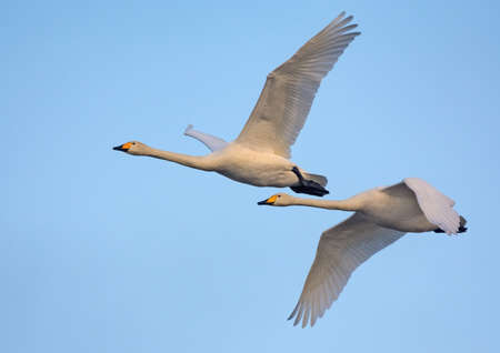 Pair of adult Whooper swans (cygnus cygnus) fly over blue sky together 免版税图像