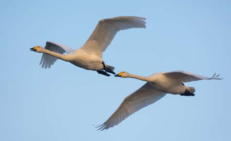 Pair of adult Whooper swans (cygnus cygnus) tight flying over spring blue sky
